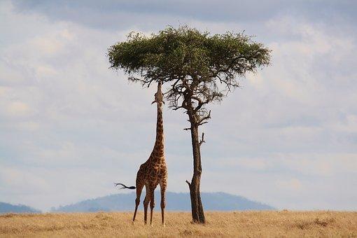 Meilleurs moments pour effectuer un safari au Kenya